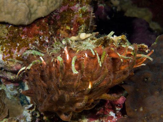 Spondylus marisrubri