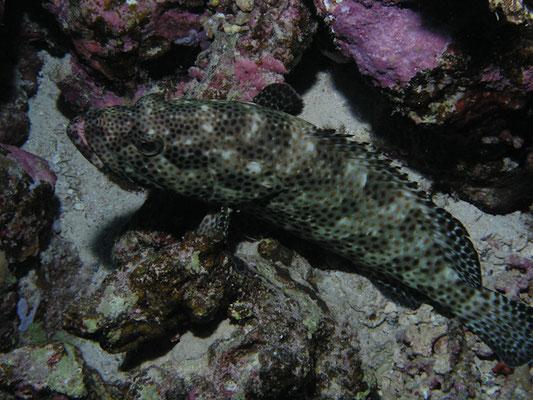 Epinephelus howlandi
