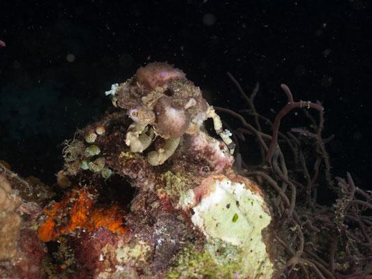 Cycocoeloma tuberculata
