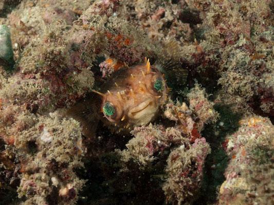 Cyclichthys orbicularis