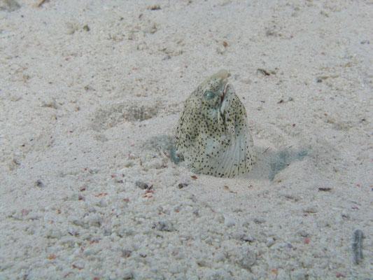 Callechelus marmorata