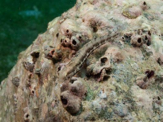 Petroscirtes lupus
