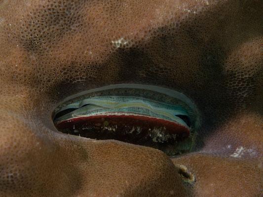 Pedum spondyloideum