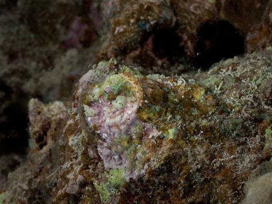Marioniopsis levis