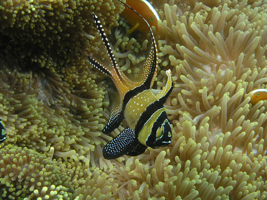 Pterapogon kaudemi - endimisch in Lembeh Strait