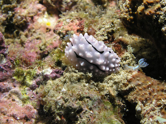 Phylidiella zeylanica