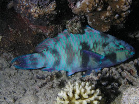 Cetoscarus bicolor - Nachtkleuren