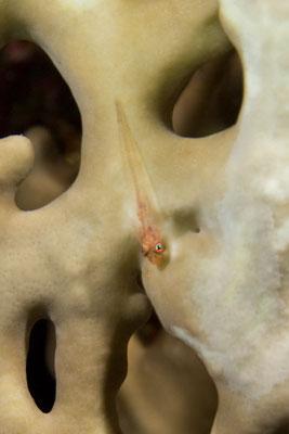 Pleurosicya mossambica