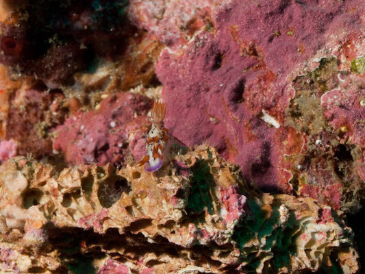 Hypselodoris krakatoa