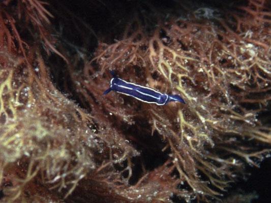 Hypselodoris fontandraui