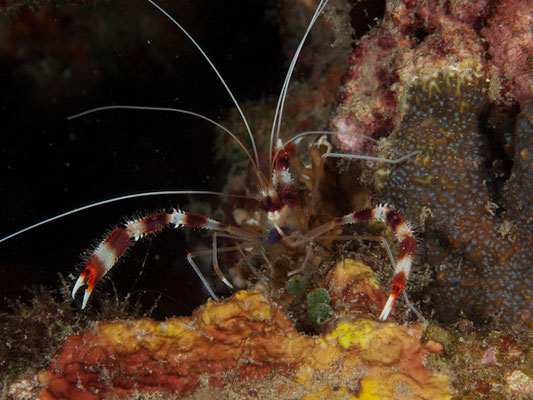 Stenopus hispidus