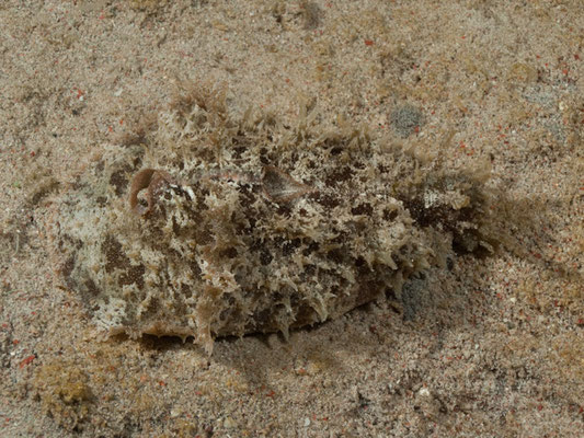 Dalabella auricularia