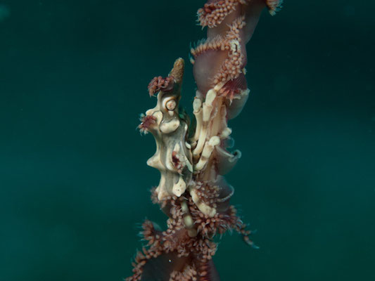 Miropandalus hardingi