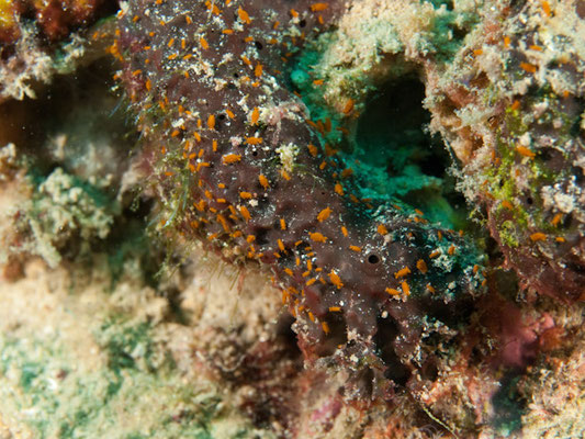 Sponge amphipod