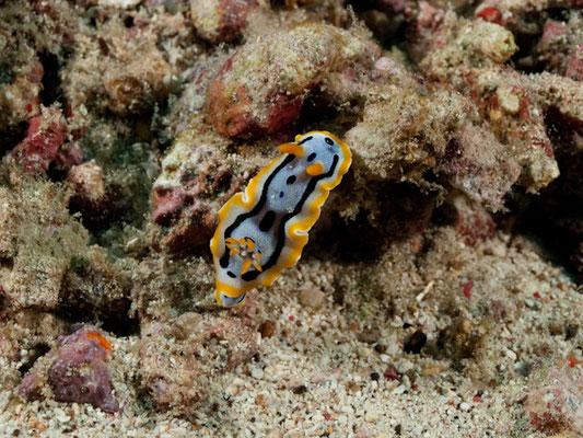 Chromodoirs westaliensis