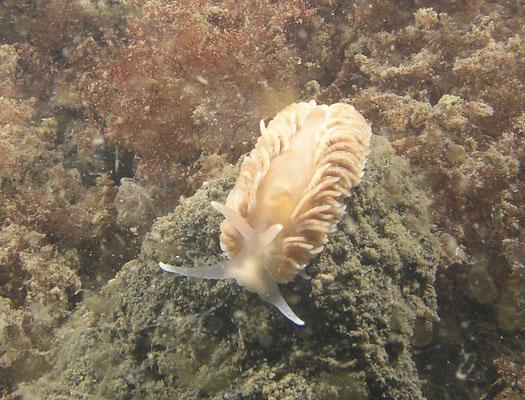 Aeolidiella glauca