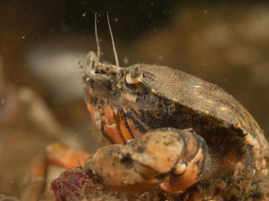Liocarcinus holsatus