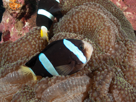 Amphiprion sabae