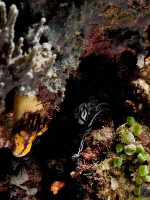 Baseodiscus quinquelineatus
