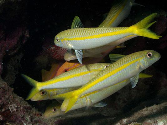 Mulloides vanicolensis