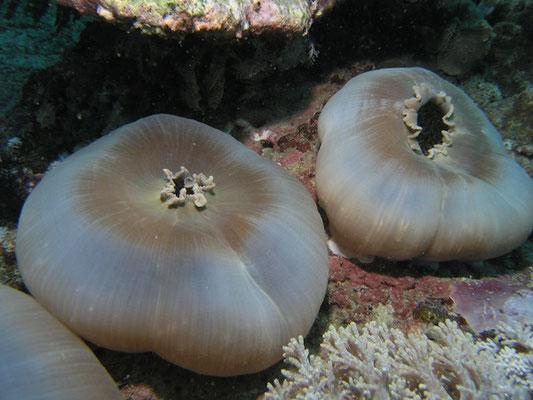 Amplexidiscus fenestrafer