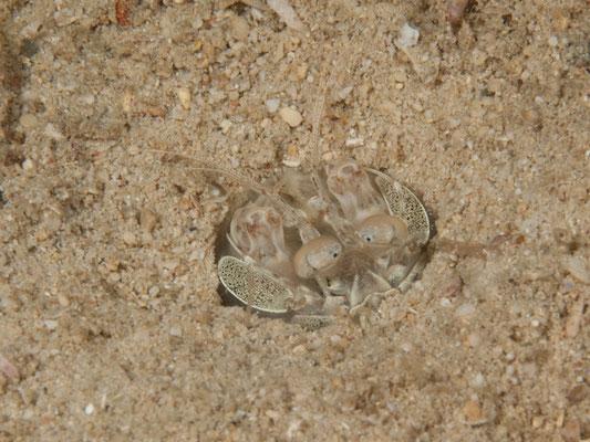 Lysiosquilla tredecimdentata
