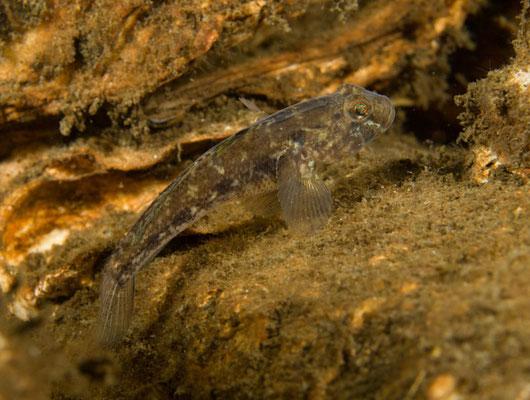 Pomatoschistus pictus