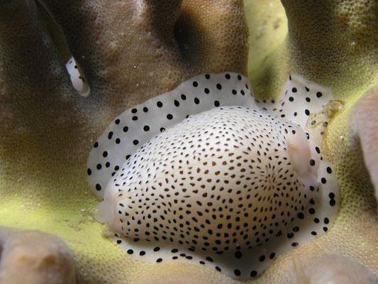 Calpurnus verrucosus