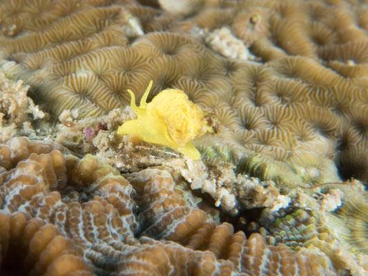 Epidendrium billeeanum