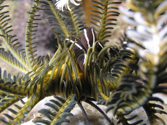Discotrema crinophila