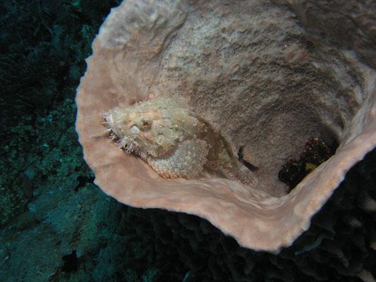 Scorpaenopsis oxycephalus