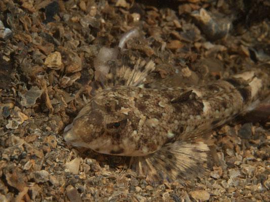 Callionymus lyra