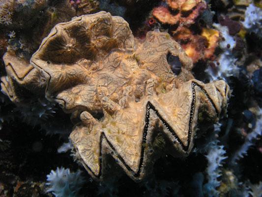 Lopha cristagalli