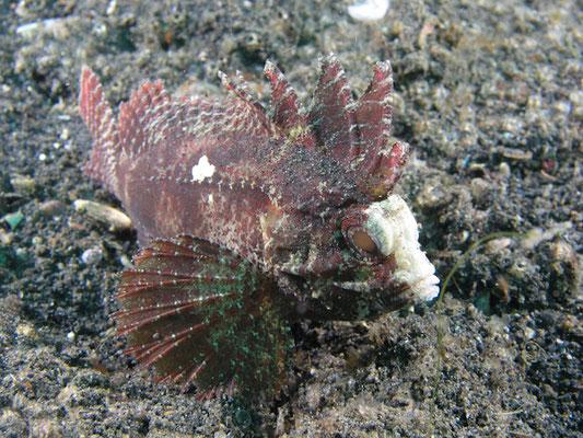 Paracentropogon longipinus