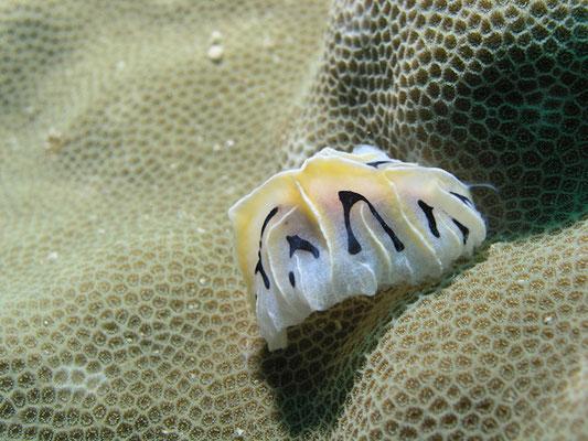 Reticulidia fungia
