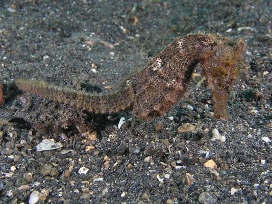 Hippocampus taeniopterus