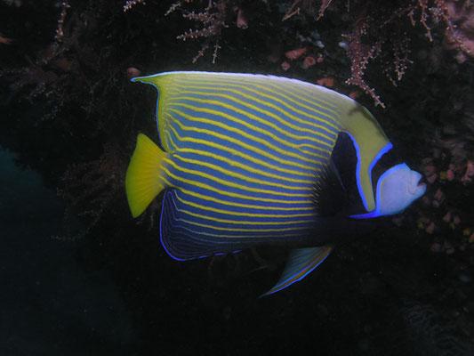 Pomacanthus imperator
