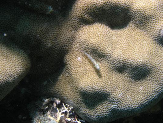 Coryphopterus longispinus