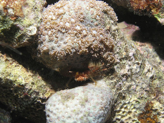 Lybia caestifera