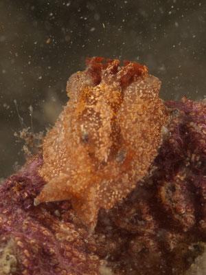 Goniodoris castanea