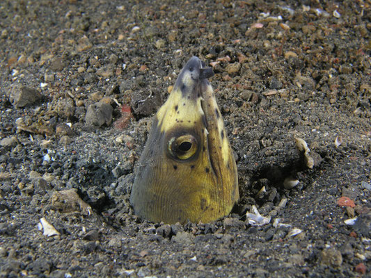 Ophichthus melanochir