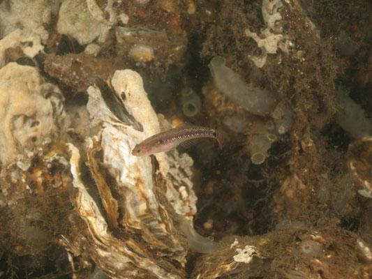 Gobiusculus flavescens