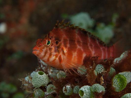 Cirrhitichthus aprinus
