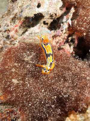 Chromodoris sp32