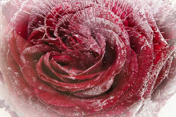 Rose im Eisblock