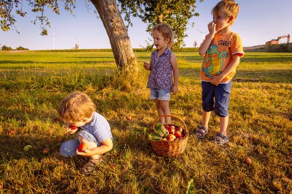 Apfelernte für frischen und leckeren Apfelsaft