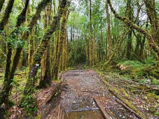 Hunderte Jahre alter Weg durch Urwald
