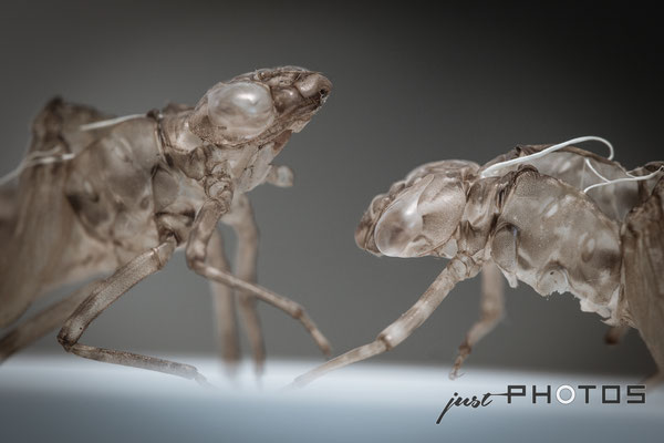 Zwei Exuvien (Exuvia) [ Hüllen geschlüpfter Libellenlarven ]