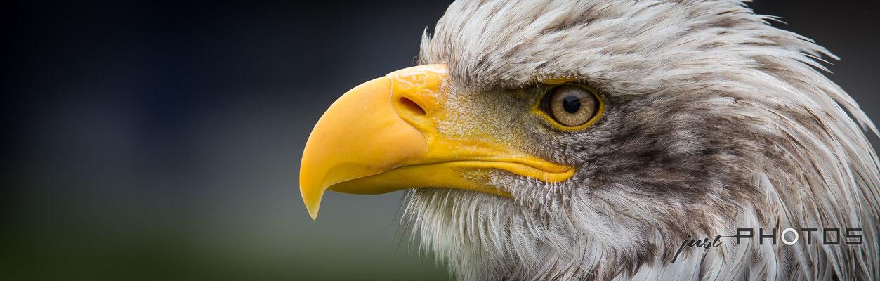 Weißkopfseeadler - Kopf [ Haliaeetus leucocephalus ]