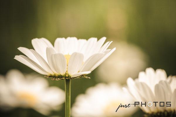 Margerite - Blüte [ Leucanthemum vulgare ]